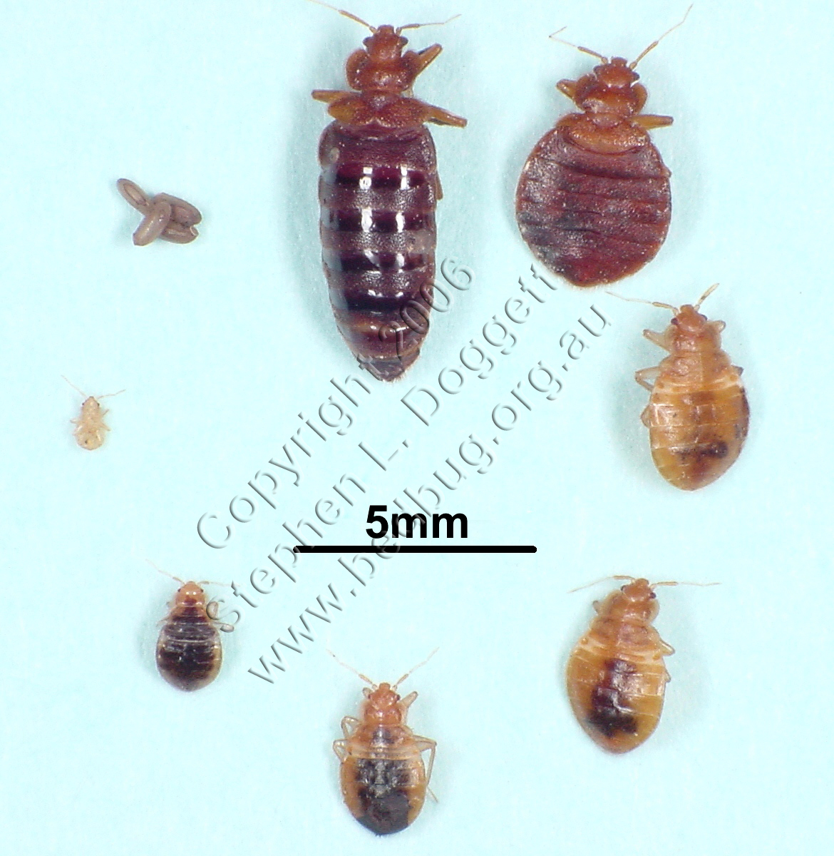 Here are some amazing photos of bedbugs feeding, including adults and